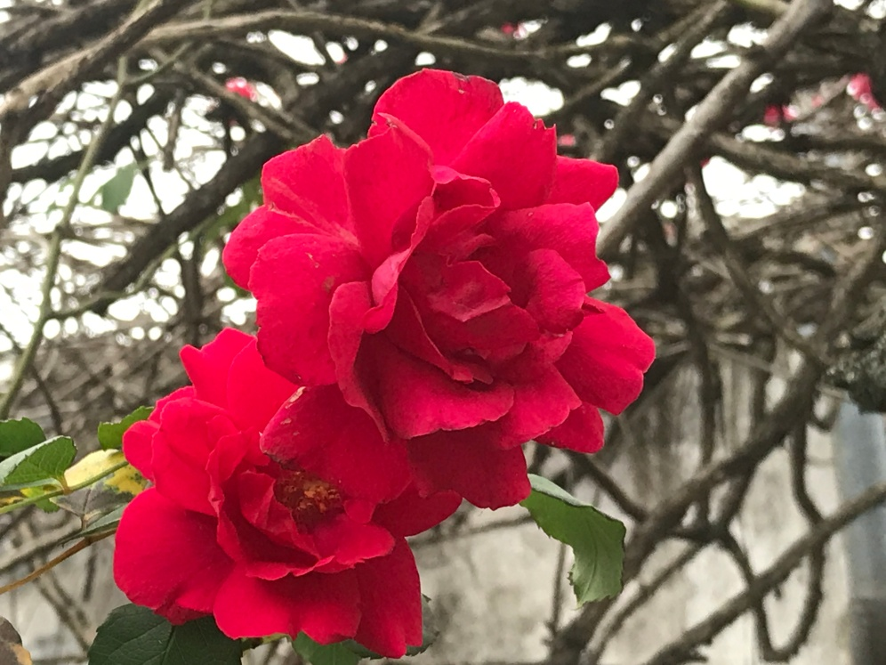 Rosas placeres del alma