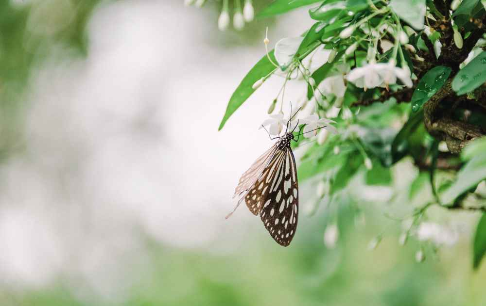 brown and white butterfly on white flowers selective focus photography
